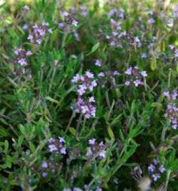 Thyme, English Broadleaf (Thymus vulgaris), packet of 100 seeds, organic