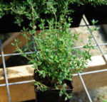Thyme, French (Thymus vulgaris), packet of 100 seeds, organic