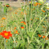 Sunflower, Mexican (Tithonia rotundifolia), packet of 30 seeds