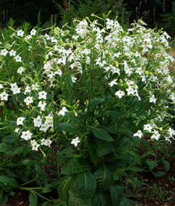 Tobacco, Night Blooming Azteca (Nicotiana alata) packet of 100 seeds, organic