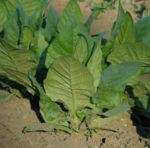 Tobacco, Havana (Nicotiana tabacum), packet of 100 seeds, organic