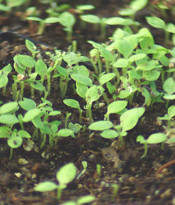 Tobacco, Scherazi (Nicotiana tabacum), packet of 100 seeds, organic