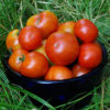 Tomato, Lakota (Lycopersicon esculentum), packet of 30 seeds, organic