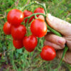 Tomato, Principe Borghese (Lycopersicon esculentum), packet of 50 seeds, organic