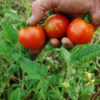 Tomato, Stupice (Lycopersicon esculentum), packet of 30 seeds, organic