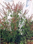 Tulsi, Rama -- Rama Tulsi, Holy Basil (Ocimum tenuiflorum), packet of 50 seeds, organic