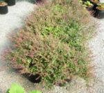 Tulsi, Amrita -- Holy Basil (Ocimum tenuiflorum), packet of 50 seeds, organic