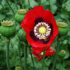 Poppy Set (9 seed packets): Black, California, Danish Flag, Flanders, Giant Pod, Greek Red, Peshawar, Turkish Red, and Zahir.