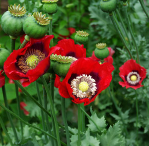 Poppy turkish red papaver somniferum packet of 100 seeds poppy turkish red papaver somniferum packet of 100 seeds mightylinksfo
