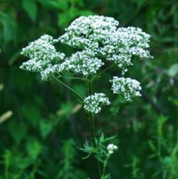 Valerian, Select (Valeriana officinalis), packet of 50 seeds, organic