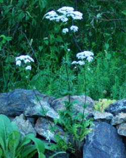 Valerian, Official Plant (Valeriana officinalis), organic