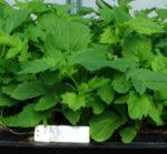 Valerian, Select (Valeriana officinalis), packet of 50 seeds, organic