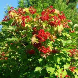 Cramp Bark (Viburnum opulus), packet of 20 seeds, Organic