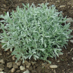Mugwort, Western (Artemisia ludoviciana), packet of 100 seeds