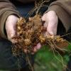 Wild Yam, American Live Root (Dioscorea quaternata), organic