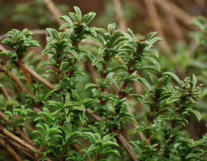 Savory, Winter (Satureja montana), packet of 100 seeds, organic