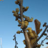 Witch Hazel, Virginian (Hamamelis virginiana) potted tree