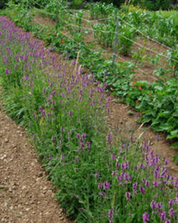 Wood Betony (Stachys officinalis), packet of 100 seeds, organic