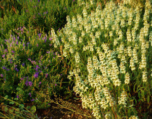 Mint, Yellow Dotted (Monarda punctata), packet of 100 seeds, Organic
