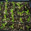 Gentian, Yellow (Gentiana lutea), packet of 50 seeds, organic