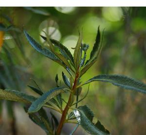 Yerba Santa (Eriodictyon californicum) packet of 100 seeds