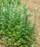 Yomogi (Artemisia princeps), packet of 200 seeds