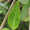 Achira (Canna edulis), packet of 10 seeds, organic