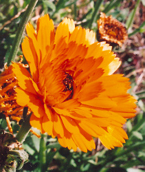 Calendula, Solis Sponsa, packet of 30 seeds, organic