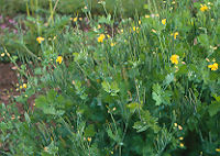 Celandine (Chelidonium majus), packet of 50 seeds, organic