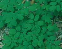 Blue Cohosh Live Root (Caulophyllum thalictroides), organic