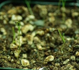 Cumin (Cuminum cyminum), packet of 300 seeds
