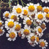 Feverfew (Tanacetum parthenium), packet of 100 seeds, organic