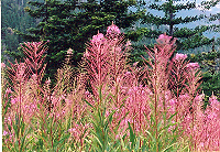 Fireweed (Epilobium angustifolium), packet of 300 seeds