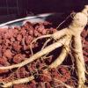 Ginseng, American (Panax quinquefolius), 10 g packet of seeds [INTL NO]