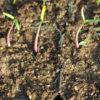 Gopher Spurge (Euphorbia lathyris), packet of 10 seeds, Organic