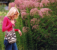 Gravel Root (Eupatorium purpureum), packet of 50 seeds, organic