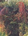 Hawthorn, Wild Form (Crataegus monogyna) potted tree