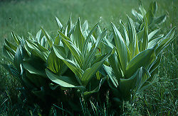 Lily, Corn (Veratrum californicum), packet of 20 seeds