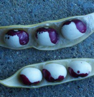 Bean, Inca Pea (Phaseolus vulgaris), packet of 20 seeds, organic