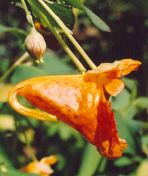 Jewelweed, Orange (Impatiens capensis), packet of 20 seeds