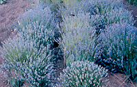 Lavender, English (Lavandula angustifolia vera), packet of 50 seeds, organic