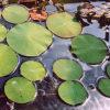 Lotus, American (Nelumbo lutea), packet of 7 seeds