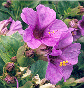 Four O'Clock, High Desert (Mirabilis multiflora), packet of 7 seeds