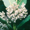 Milkweed, Common (Asclepias syriaca), packet of 50 seeds, organic