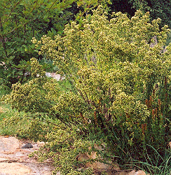 Oregano, Greek (Origanum heracleoticum) , packet of 100 seeds, organic