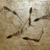 Geranium, Scented (Pelargonium capitatum), packet of 20 seeds, organic