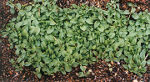 Pennyroyal (Mentha pulegium), packet of 100 seeds, organic