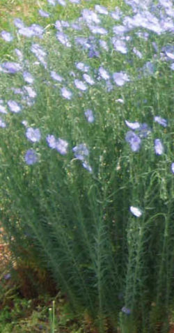 Flax, Perennial Blue (Linum perenne lewisii), packet of 500 seeds