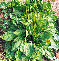 Plantain, Giant Turkish (Plantago major), packet of 100 seeds, organic