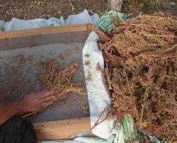 Quinoa, Faro (Chenopodium quinoa), packet of 300 seeds, organic